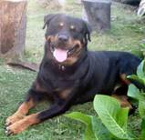 Rottweiler relaxing in garden