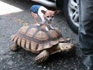 alt text for the image of a chihuahua riding a spur thigh tortoise