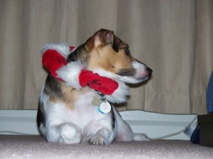 JymmieJack, terrier, with a Christmas scarf around her neck