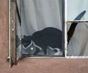 Black-and-white cat in an open window in front of a white curtain.