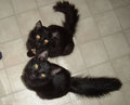 2 black cats looking up at camera