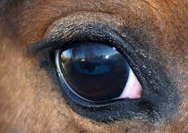 Horse eye 1