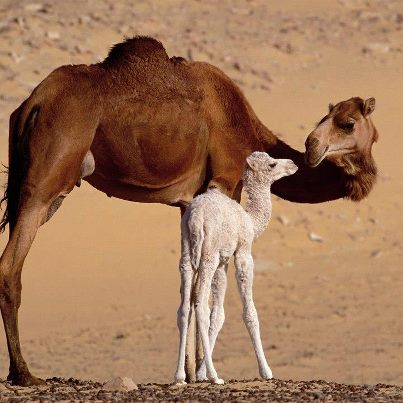 Mom camel and Baby