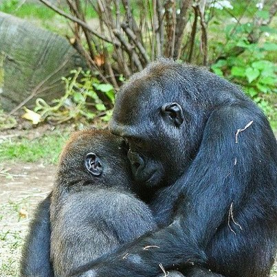Mom Gorilla and Baby