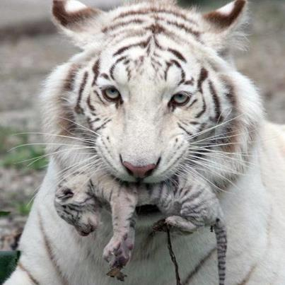 Tiger Mom and Brand New Baby with Cord Attached